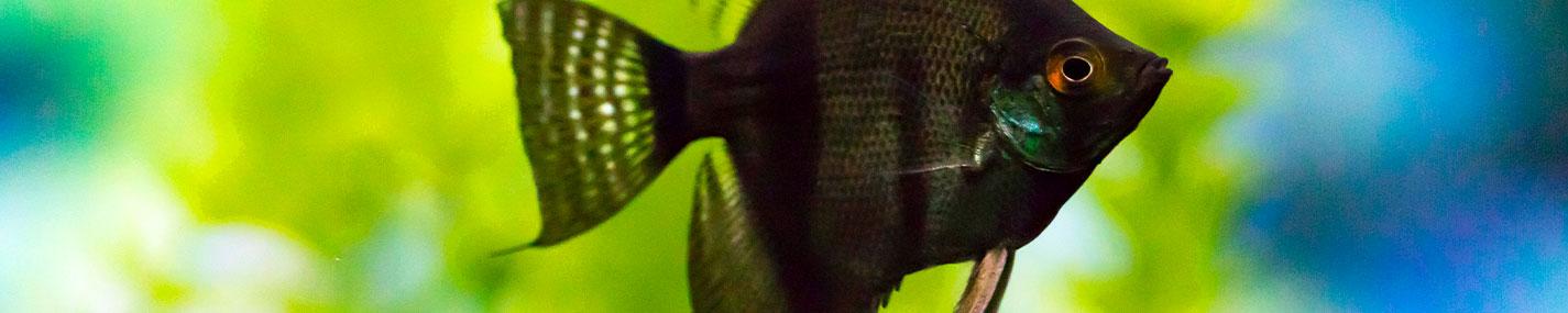 Pêche des poissons pour aquarium d'eau douce
