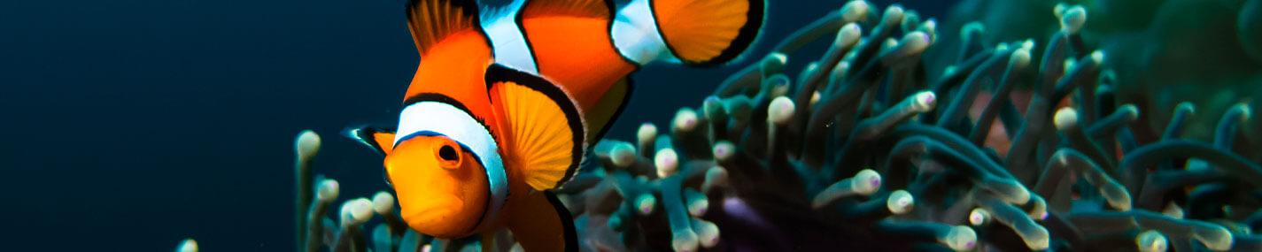 Pêche des poissons pour aquarium d'eau de mer