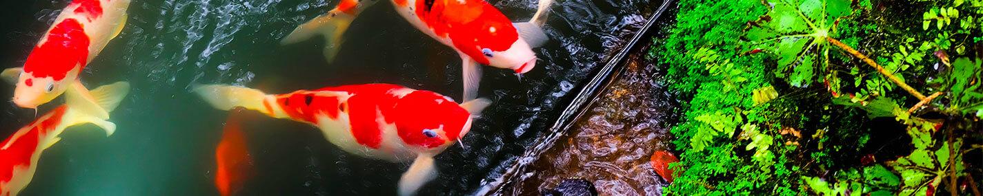 Anneaux flottants Distributeurs de nourriture - Alimentation & compléments pour bassin